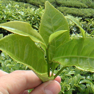 Chá Verde - Camellia sinensis - Alimento Termogênico Natural