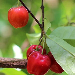 Acerola - Frutas Vermelhas - Fruta rica em Vitamina C