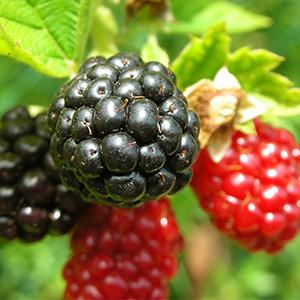 Amora - Frutas Vermelhas - Atividade antioxidante